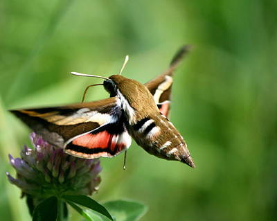 Hummingbird Moth From Behind Poster by Neal  Eslinger