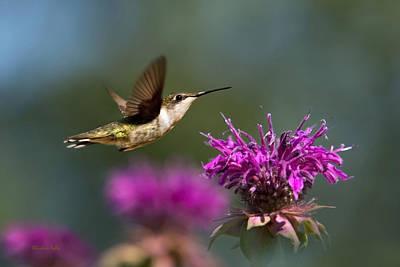Hummingbird Moving Along Poster by Christina Rollo