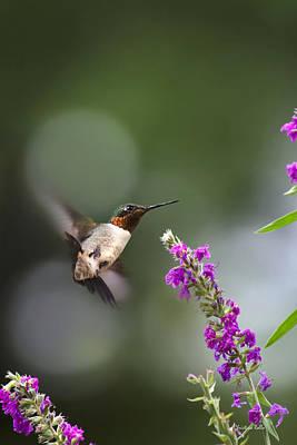 Hummingbird Somersault Poster by Christina Rollo