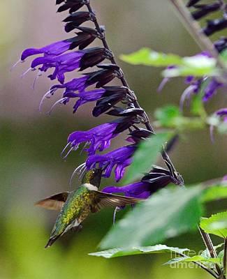 Hummingbird Wearing Black Blue Salvia Poster by Wayne Nielsen