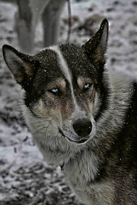 Husky Dog Of The Sled Poster by Mountain Dreams