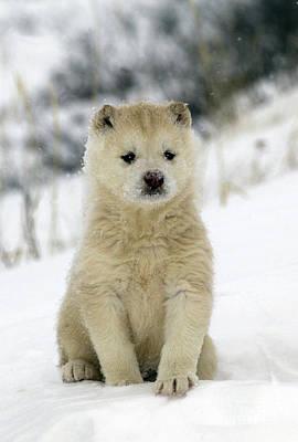 Husky Dog Puppy Poster by M. Watson