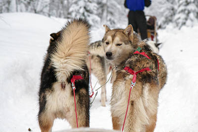 Husky Dogs Pull A Sledge  Poster by Lilach Weiss