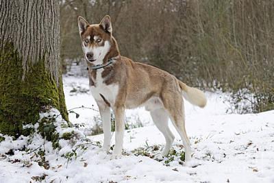 Husky In Snow Poster by John Daniels
