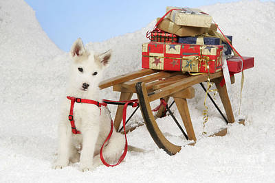 Husky Puppy At Christmas Poster by John Daniels