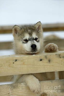 Husky Puppy Dog Poster by M. Watson