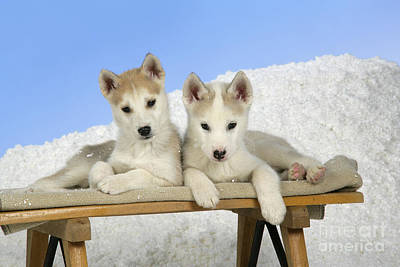 Husky Puppy Dogs Poster by John Daniels