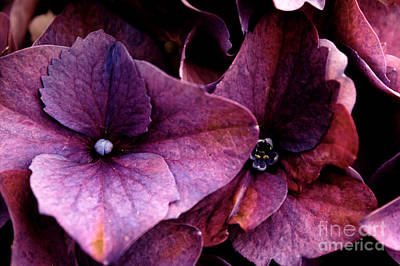 Hydrangea In Lavender Poster by Steven Parker