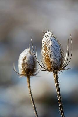 Ice-coated Teasel Poster by Jim West