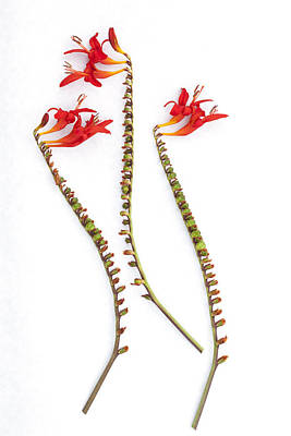 If Seahorses Were Flowers Poster by Carol Leigh