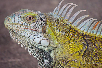 Iguana Close Up Poster by Paul Smith