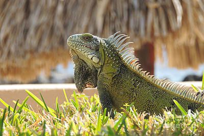 Iguana Pose Poster by Paul Smith