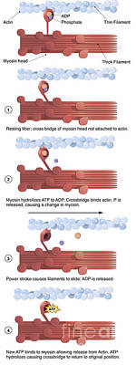 Illustration Of Muscle Contraction Poster by Alan Gesek