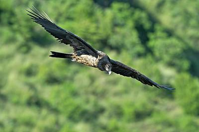 Immature Bearded Vulture In Flight Poster by Tony Camacho