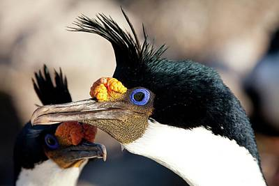 Imperial Shag In Breeding Colours Poster by Paul D Stewart