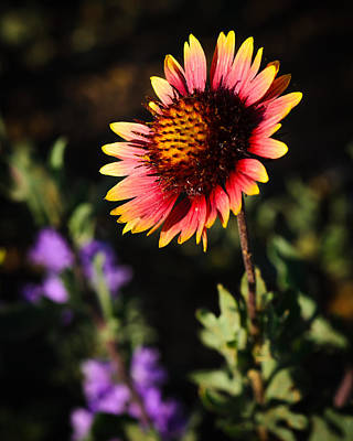 Indian Blanket Poster by Thomas Pettengill