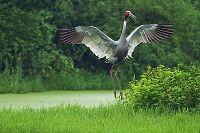 Indian Saras Crane, Jumping, Keoladeo Poster by Jagdeep Rajput