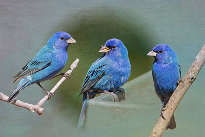 Indigo Buntings Poster by Bonnie Barry