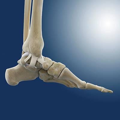 Inner Ankle Ligaments Poster by Springer Medizin