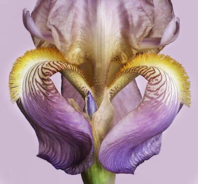 Iris Heart Poster by David and Carol Kelly