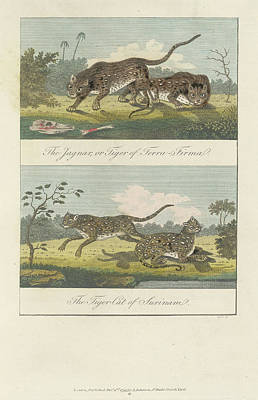 Jaguar And Tiger Cat Poster by British Library