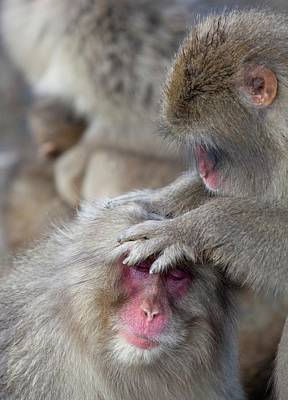 Japanese Macaque Monkey Dominant Grooming Poster by Paul D Stewart