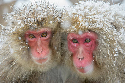 Japanese Macaques Poster by Dr P. Marazzi