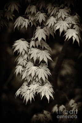 Japanese Maple In Sepia  Poster by Tim Gainey