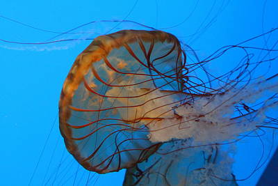 Jellyfish - National Aquarium In Baltimore Md - 121225 Poster by DC Photographer