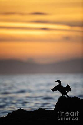 Joe Fox Fine Art - Gannet Bird Stretches Its Wings At Sunset On The Irish Coast Poster by Joe Fox