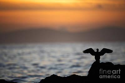 Joe Fox Fine Art - Gannet Stretches Its Wings At Sunset On The Irish Coast Poster by Joe Fox