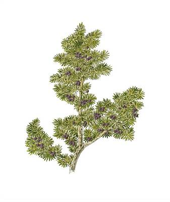 Juniper (juniperus Communis Nana) Poster by Science Photo Library