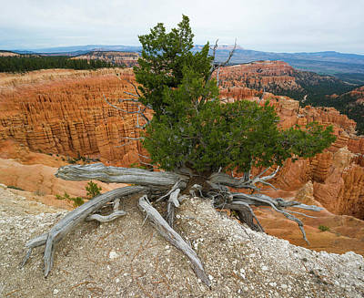 Juniper Tree Clings To The Canyon Edge Poster by Panoramic Images
