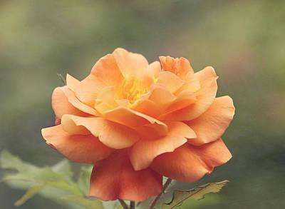 Just Peachy - Rose Poster by Kim Hojnacki