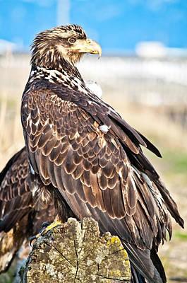 Juvenile Bald Eagle Poster by Debra  Miller