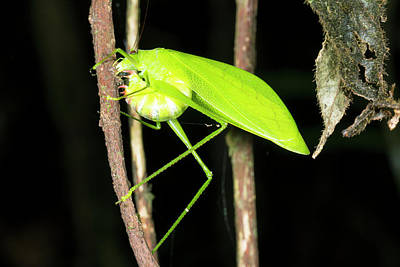 Katydid Laying Eggs Poster by Dr Morley Read