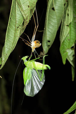 Katydid Shedding Skin Poster by Dr Morley Read