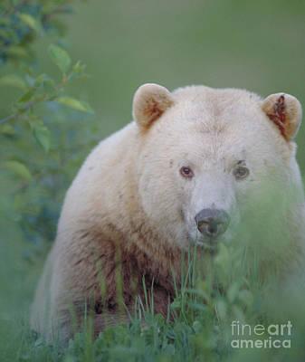 Kermode Bear, Northern British Poster by Art Wolfe