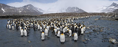 King Penguins Aptenodytes Patagonicus Poster by Panoramic Images