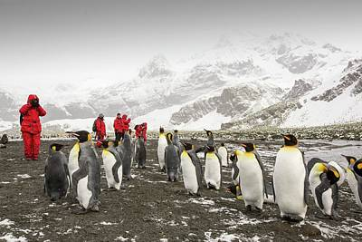 King Penguins At Gold Harbour Poster by Ashley Cooper