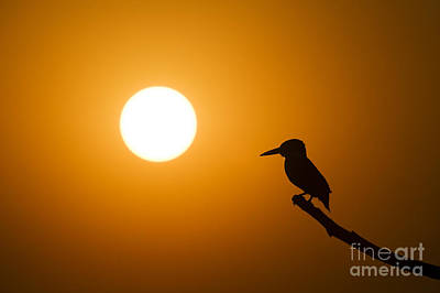 Birdwatching Poster featuring the photograph Kingfisher Sunset by Tim Gainey