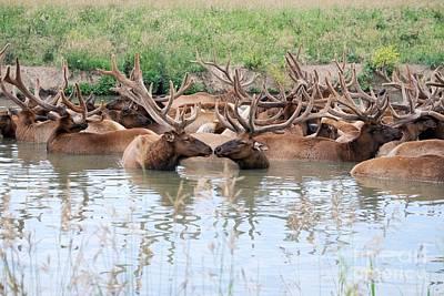 Kissing Elk Poster by Mark McReynolds