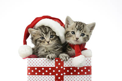 Kitten In Presents Poster by Greg Cuddiford
