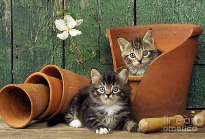 Kittens In Flowerpots Poster by John Daniels