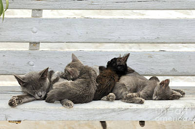 Kittens In Hydra Island Poster by George Atsametakis