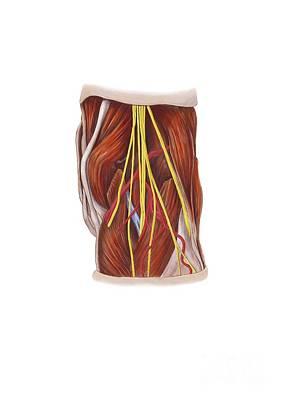 Knee Nerve Plexus, Artwork Poster by D & L Graphics