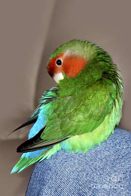 Peach-faced Lovebird Poster featuring the photograph Knee Preen Pickle by Terri Waters