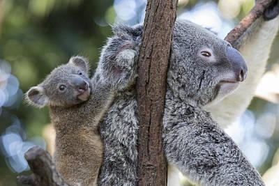 Koaal Joey Clinging To Mother Australia Poster by Suzi Eszterhas