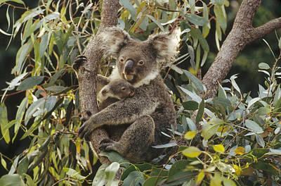 Koala And Joey In Eucalyptus Australia Poster by Gerry Ellis