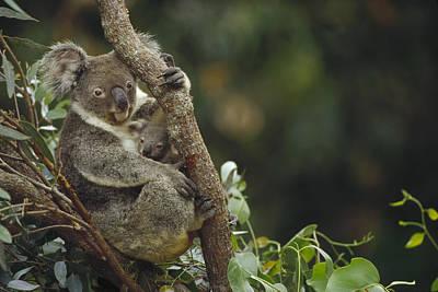 Koala And Joey In Eucalyptus Tree Poster by Gerry Ellis